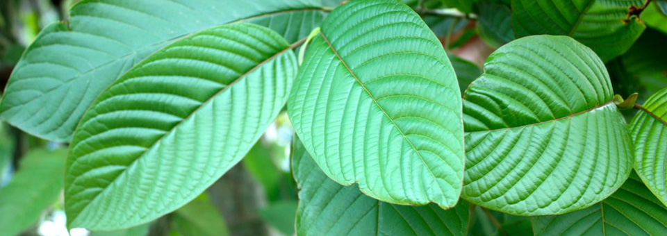 Why Kratom Capsules Are Ineffective