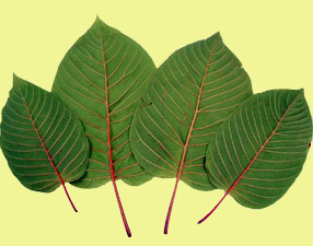 Botany of Kratom